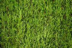 Evergreen cypress leaves textured green background Royalty Free Stock Image