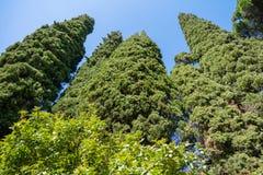 Evergreen Cypresses Cupressus sempervirens Pyramidalis. Perspective view Stock Photos