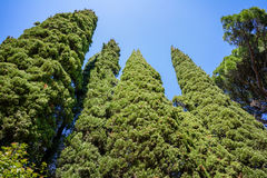 Evergreen Cypresses Cupressus sempervirens Pyramidalis and a pine Royalty Free Stock Images