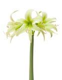 Evergreen de Hippeastrum Imagens de Stock Royalty Free