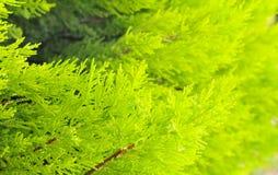 Evergreen decorative bush Royalty Free Stock Photography