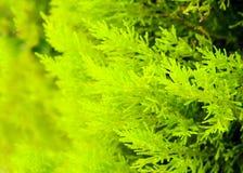 Evergreen decorative bush Stock Photo