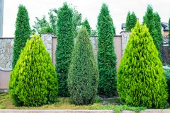 Decorative evergreen trees for landscaping royalty free stock photos