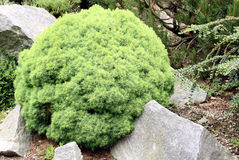 Evergreen del globo dell'Alberta conifero fotografie stock libere da diritti