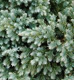 Evergreen Details. A close-up of a small blue toned evergreen bush Stock Photos