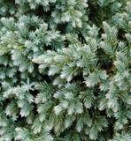 Evergreen Details Stock Photos