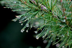 Evergreen Dew Drops Royalty Free Stock Photos