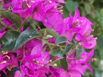 Evergreen exotic plant Bougainvillea. Bougainvillea is a riot of color. It`s a very popular landscape plant stock photography