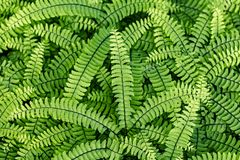 Evergreen fern leaves.  dark green foliage background for design. Sweet fern - Polypódium vulgáre. Evergreen fern leaves closeup in the forest. dark green royalty free stock image