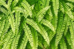 Evergreen fern leaves closeup in the forest. dark green foliage background for design. Sweet fern - Polypódium vulgáre royalty free stock photo