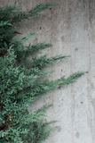 Evergreen fir tree against a textured wall Stock Images
