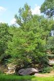 Evergreen fir tree Royalty Free Stock Photos
