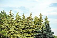 Evergreen fir tree Stock Photos