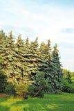 Evergreen fir tree Royalty Free Stock Photography
