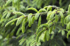 Evergreen fir tree Royalty Free Stock Photo