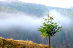 Evergreen Fir tree Stock Photography