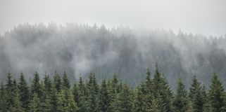 Evergreen firs, larches pines forest with fog and low clouds. Nostalgic look. Coniferous woods, Styrian mountains, Austria royalty free stock images