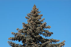 Evergreen firtree with cones Royalty Free Stock Photo