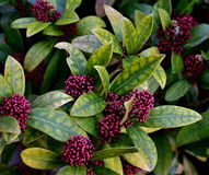 Evergreen flowering perennial - Skimmia japonica. Evergreen flowering perennial with small pink flowers. In winter time royalty free stock images
