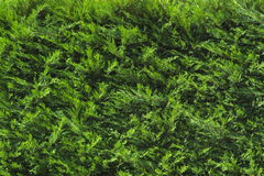 Evergreen Foliage Royalty Free Stock Image