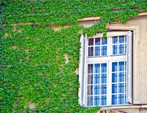Evergreen foliage surrounding a windows on an ivy wall Royalty Free Stock Photo