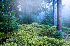 Evergreen forest Royalty Free Stock Images