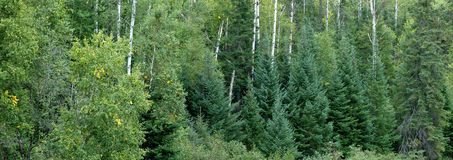 Evergreen forest. L ush trees with deep green foliage stock image