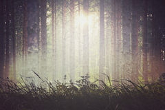 Evergreen forest background Stock Image