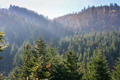 Evergreen forest in Carpathian Mountains, Ukraine. Travel, ecotourism Royalty Free Stock Photos