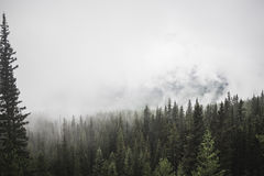 Evergreen forest in foggy weather