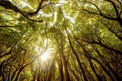Evergreen forest on La Gomera island. Beautiful evergreen forest in Garajonay national park on La Gomera island in Spain Royalty Free Stock Photo