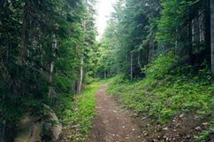 Evergreen Forest Path. Path running through an evergreen forest in Oregon Royalty Free Stock Photo