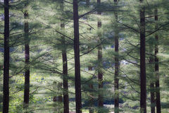 Evergreen Forest with Soft Lighting Royalty Free Stock Photo