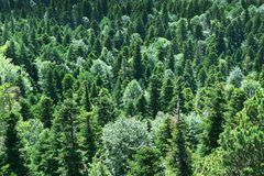 Evergreen forest: spruces, firs and pine trees. Evergreen forest. Spruces, firs and pine trees. View from above. Natural background stock images