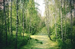 Evergreen forest. In summer, Minsk royalty free stock photography