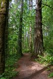 EVERGREEN FOREST TRAIL. Hiking trail with large evergreen trees, ferns and plants lining the way Stock Images