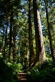 EVERGREEN FOREST TRAIL. Hiking trail with large evergreen trees, ferns and plants lining the way Stock Photo