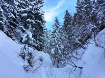 Evergreen forest in winter Royalty Free Stock Photography
