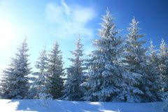 Evergreen forest in winter. Bright blue sky in background stock images