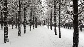 An Evergreen Forest in the Winter. Wit a path way royalty free stock image