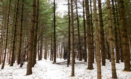 Evergreen Forest In The Winter stock photos