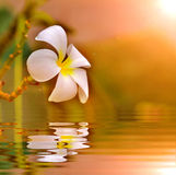Evergreen Frangipani. In sun set light and reflect in water Royalty Free Stock Photos