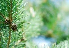 Evergreen fresco fotografia stock