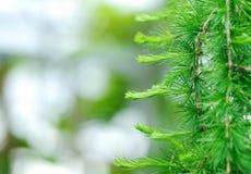 Evergreen fresco. Fundo Defocused. fotografia de stock