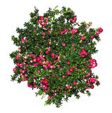 Evergreen Gaultheria mucronata plant with red berries Royalty Free Stock Photo