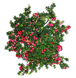 Evergreen Gaultheria mucronata plant with red berries Royalty Free Stock Images