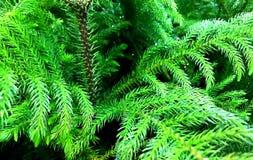 Evergreen granträd, dekorativt som är litet arkivbild