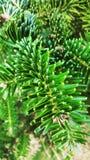 Evergreen Stock Photos