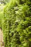 Evergreen Hedge Stock Photos