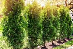 Evergreen hedge of thuja trees Royalty Free Stock Image